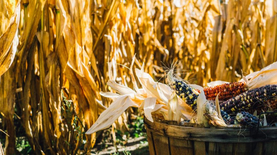 harvested Indian corn